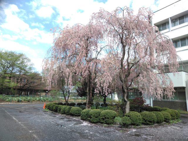 北大の桜1