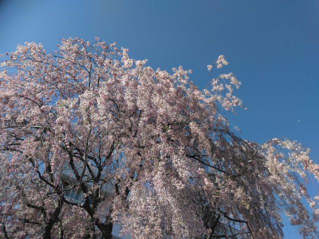 北大の桜2